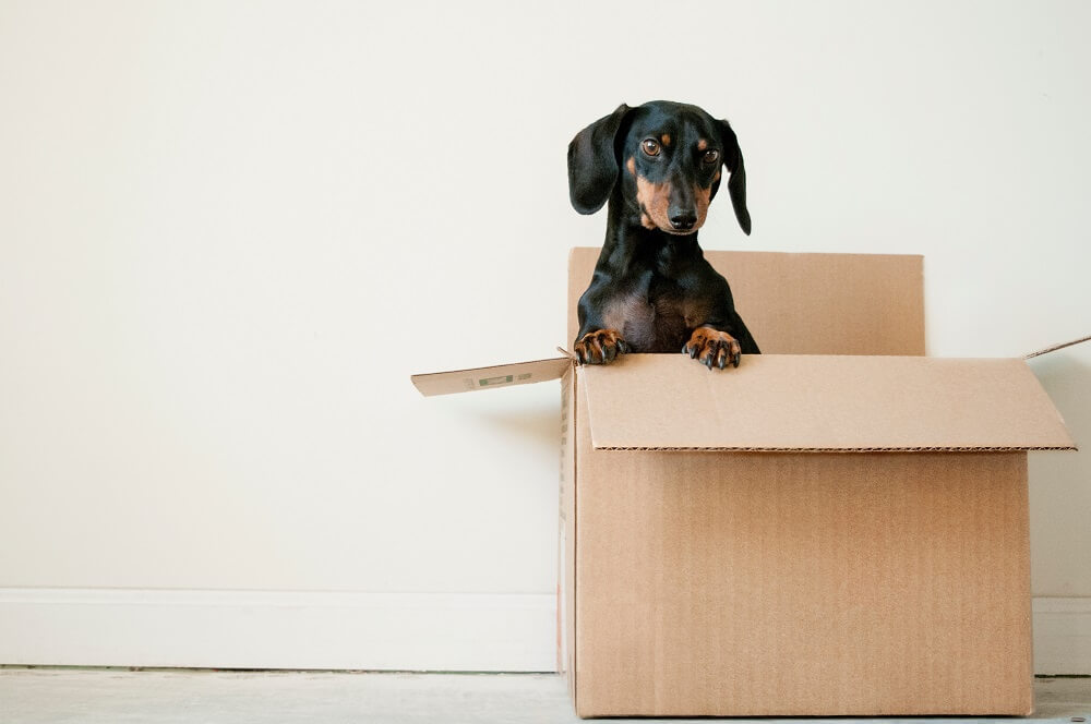 black and brown dachshund in cardboard box